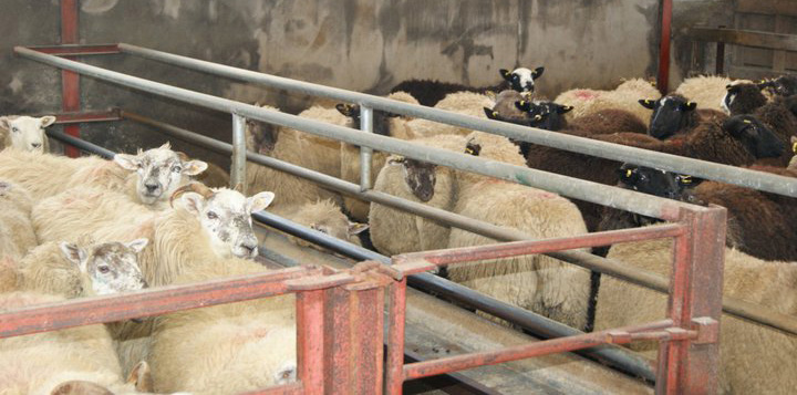 sheep farm consultancy Ireland